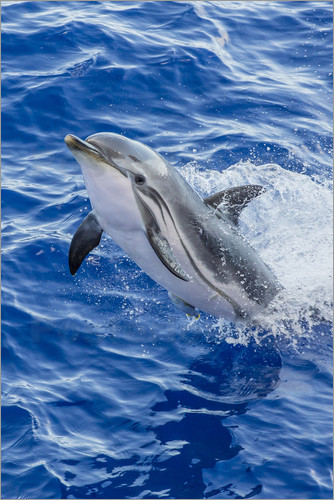 Poster Adult striped dolphin