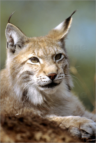 Louise Murray - European lynx (Lynx lynx)