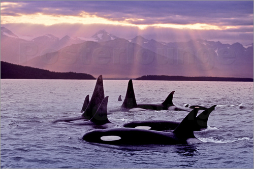 Poster Orcas in the evening