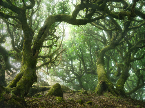 Andreas Wonisch Fairy Tale Forest With Laurel Trees On Madeira Poster Posterlounge