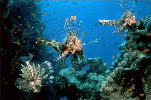 Poster Lionfish on a reef