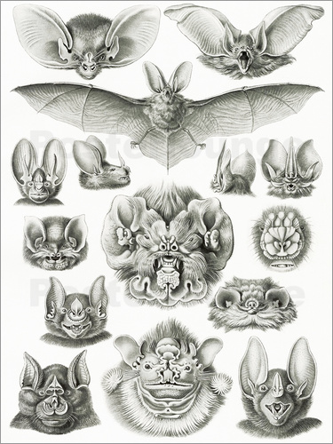 Ernst Haeckel - Bats, heads and faces
