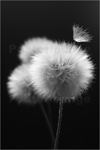 Fluffy dandelions close-up