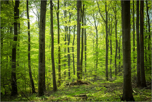 Poster Fresh Green - Beech forest in Harz