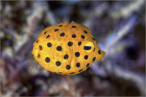 Poster Juvenile yellow boxfish