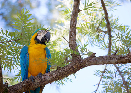 Poster Blue and yellow macaw