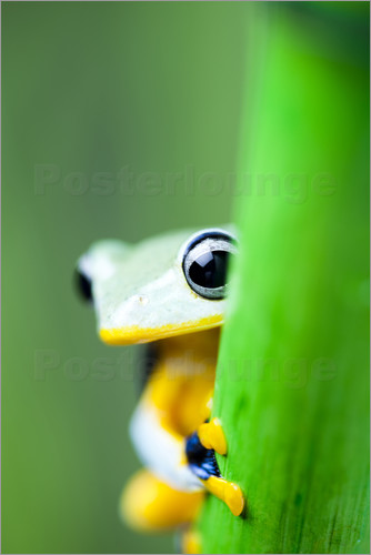 Poster yellow tree frog