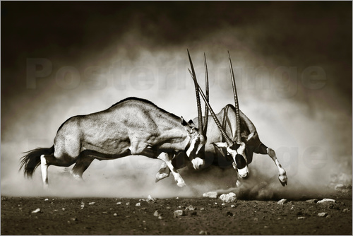 Poster Gemsbok antelope fighting in dusty sandy desert
