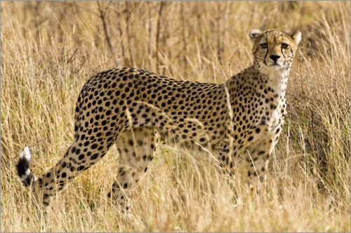 Poster Cheetah stands between dry grasses