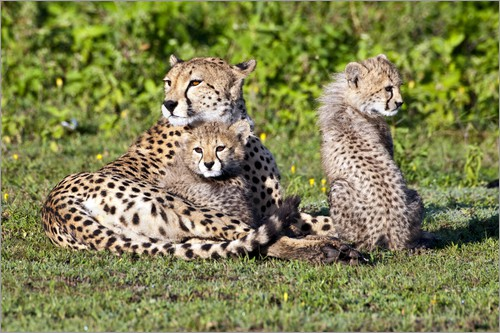 Poster Cheetah mother and cubs