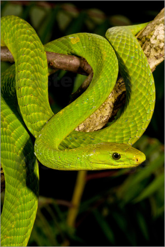 Poster East African Green Mamba