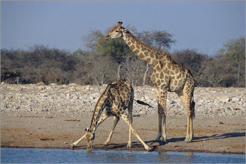Poster Giraffes at a waterhole