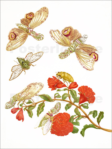 Maria Sibylla Merian - Pomegranate with Lantern Fly and Cicada