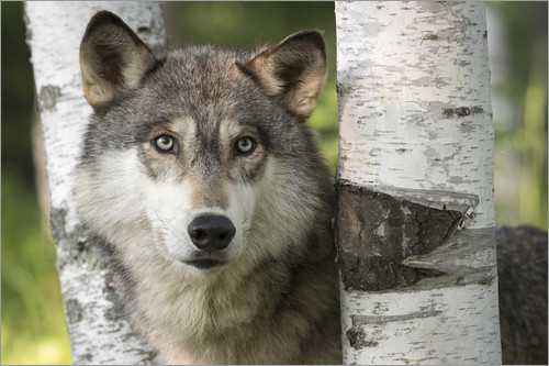 Poster Gray wolf between birch