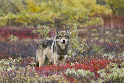 Poster Gray Wolf in the tundra