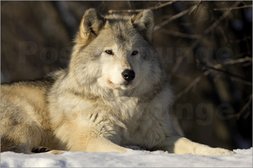 Poster Grey Wolf in Quebec