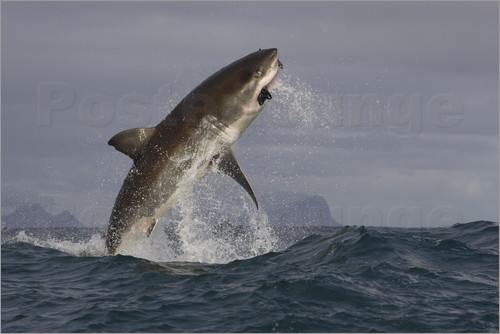 Poster Great white shark (Carcharodon carcharias), Seal Island, False Bay, Simonstown, Western Cape, South