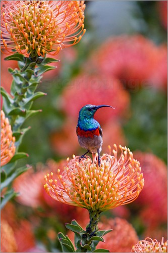 Ralph H. Bendjebar - Greater Double-collared Sunbird feeds on Pincushion Protea at Kirstenbosch National Botanical Garden