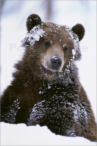 Doug Lindstrand - Grizzly in the snow