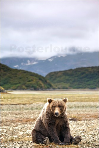 Paul Souders - Grizzly bear resting against Kinak Bay