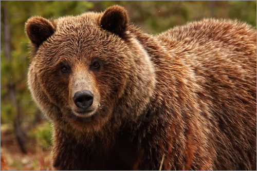 Robert Postma - Grizzly Bear, Yukon
