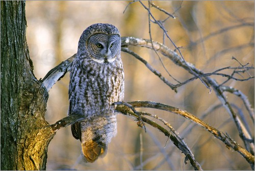 Poster Great gray owl on a branch