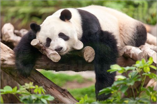 Jan Christopher Becke - Giant panda sleeping