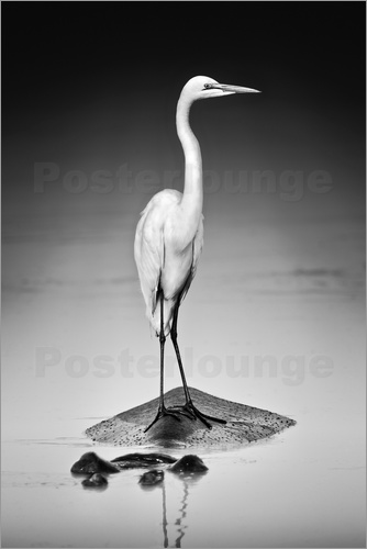 Poster Great white Egret perched on Hippo