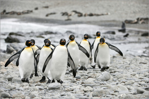 Poster Group of Emperor Penguins (Aptenodytes forsteri) walking together in a line on a beach.