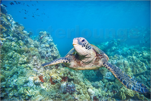 Poster Green Turtle