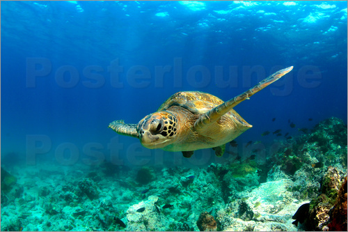 Poster Green sea turtle under water