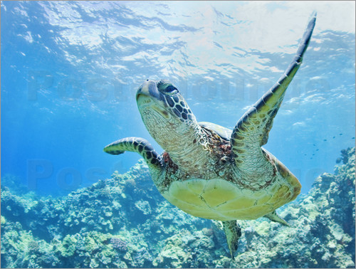 Poster Green sea turtle off Hawaii