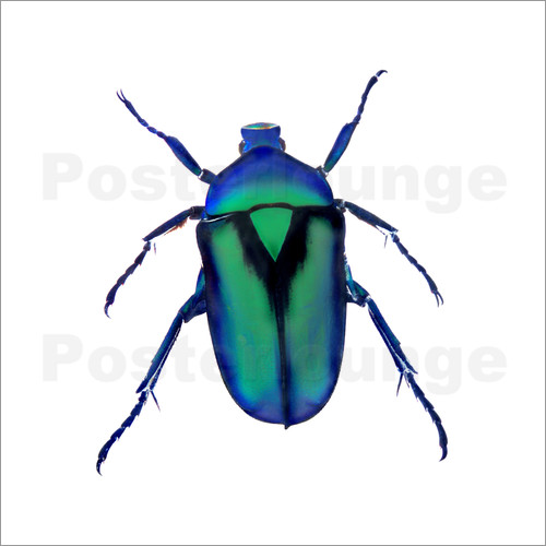 Poster Green Beetle