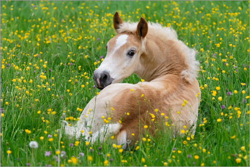 Katho Menden - Haflinger horse, a cute foal resting in a flowering meadow