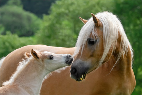 katho menden haflinger horses foal with mare cuddling. Black Bedroom Furniture Sets. Home Design Ideas