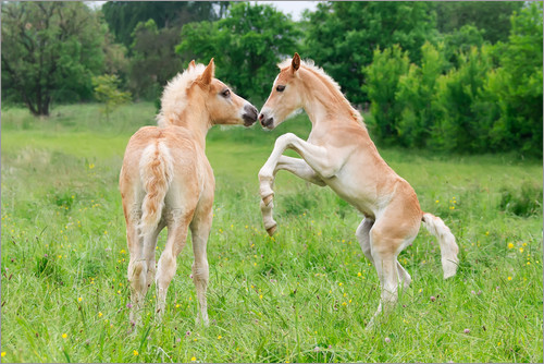 Katho Menden - Haflinger horses foals playing and rearing