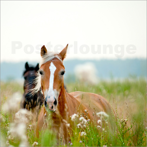 Poster Haflinger with wildflowers