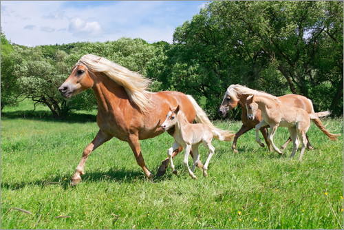 Poster Haflinger mares with their foals running