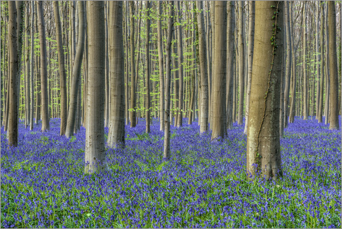 Michael Valjak - Bluebells in the beech forest