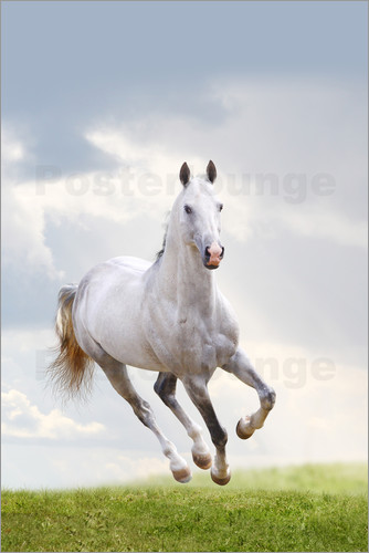 Stallion galloping