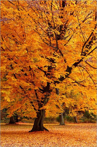 Poster Autumn tree in the park