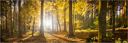 Poster Autumn forest backlit with sunshine and yellow autumn leaves