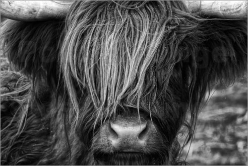 Poster Scottish Highland Cattle - Highlander