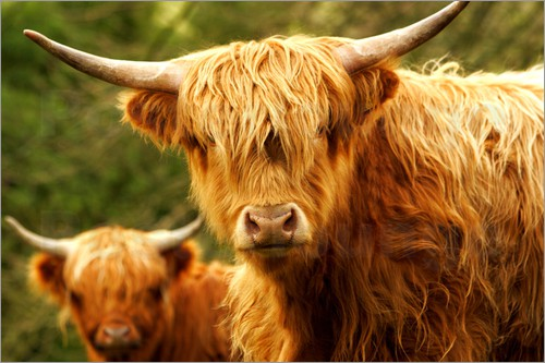 Poster Highland Cattle in Yorkshire