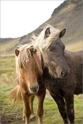 Poster Horses, South Iceland, Northern Europe