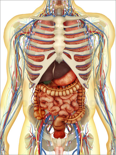 Human body with internal organs, nervous system, lymphatic system ...