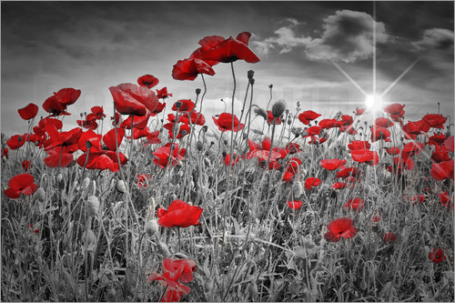 Poster Idyllic Field of Poppies
