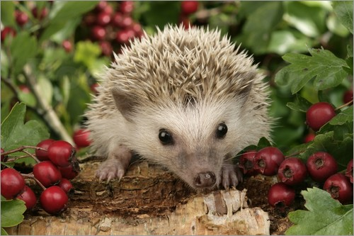Poster Hedgehog with berries