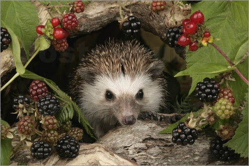 Poster Hedgehog and blackberries