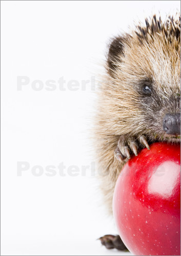 Poster Little hedgehog
